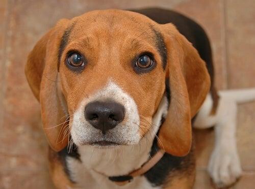 un jeune beagle avec les yeux propres