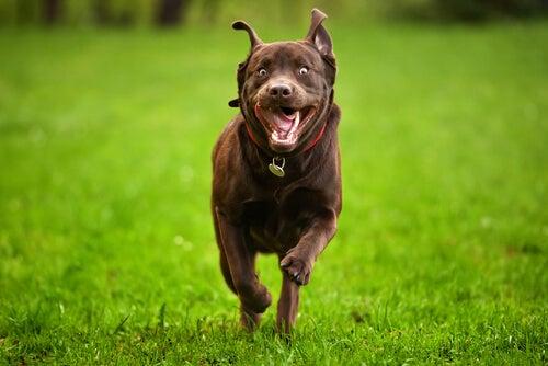 un gros chien marron court dans l'herbe