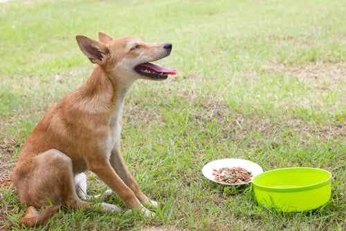 Comment traiter les vomissements de votre chien ?