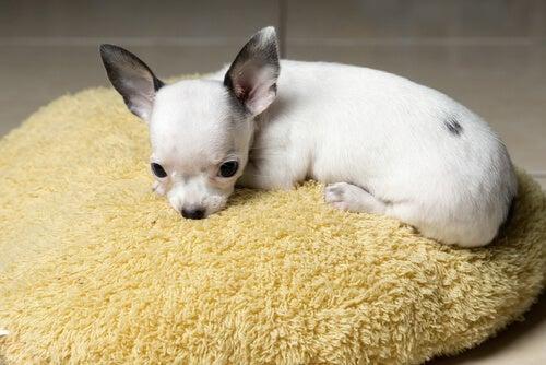 un bébé chihuahua dort sur un coussin