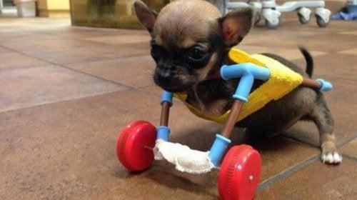 Faites la connaissance de Turbo Roo, un chihuahua avec un esprit de battant