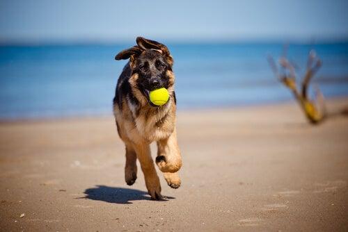 un jeune berger allemand court sur la plage avec une balle