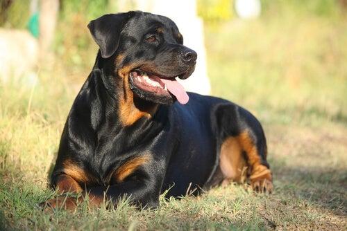 Un Rottweiler entrain de contempler la nature