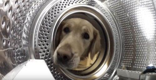 Un chien sauve son jouet de la machine à laver