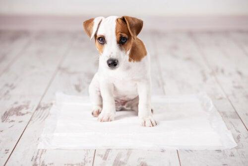 Comment apprendre à son chien à faire ses besoins sur du papier
