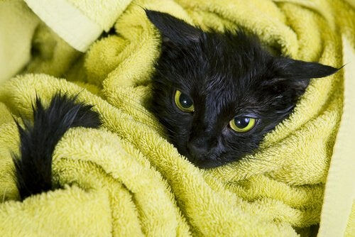 Un chat noir enroulé dans une serviette