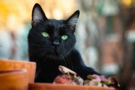 Les chats noirs et la malchance