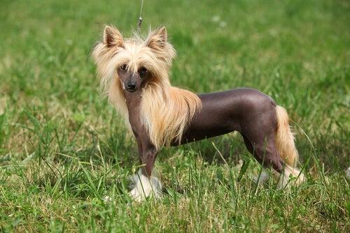 un chien chinois à crête dans l'herbe