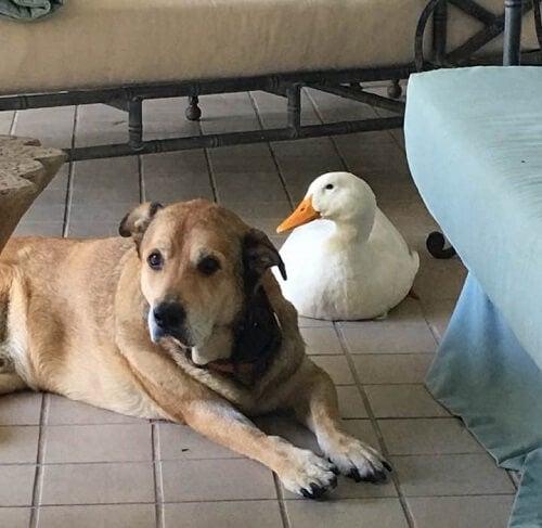 Un chien déprimé redevient joyeux grâce à son nouvel ami canard