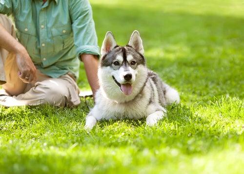 Un Husky installé dans l'herbe avec son maître