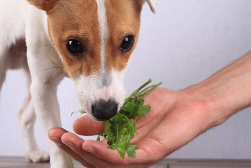 chien qui mange des légumes dans la main de son maitre