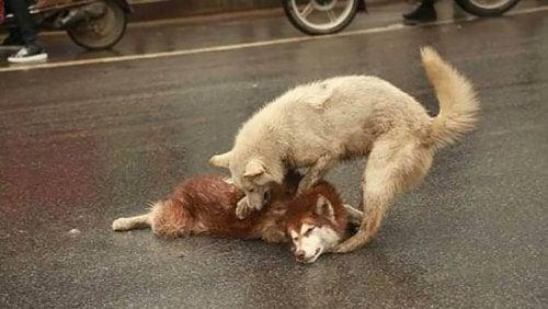 Un chien veut aider son ami qui s'est fait écraser