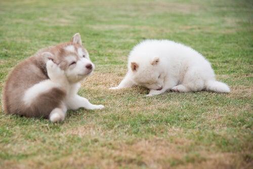 Deux chiots se grattent dans l'herbe