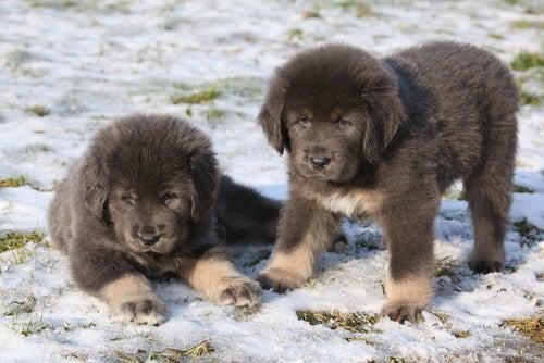 Deux chiots dans la neige