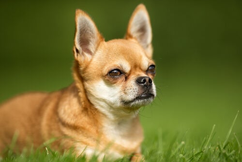 Les causes des gaz chez les chiens