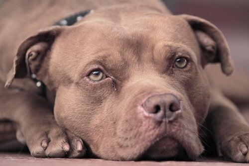 un pitbull brun allongé
