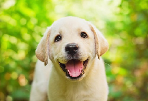 un jeune labrador heureux