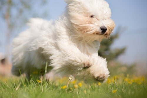 un bichon court dans l'herbe