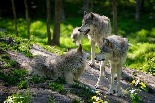 trois loups dans les bois