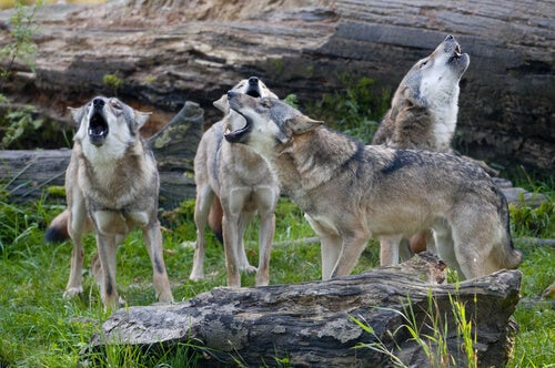meute de quatre loups