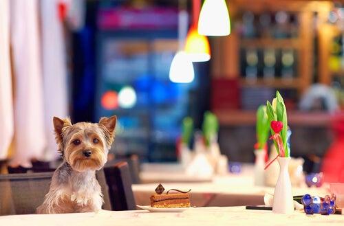 un Yorskshire installé à la table d'un restaurant