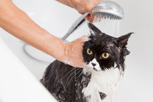 chat rincé par son maitre dans une baignoire