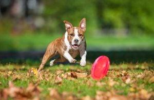stimuler l'intelligence de votre chien avec un frisbee