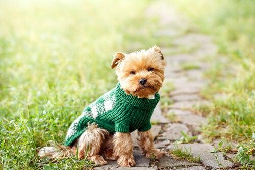 petit chien habillé avec un pull vert