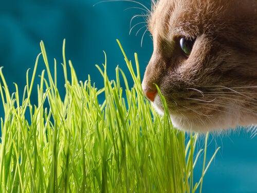 un chat renifle de l'herbe