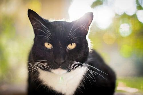 un chat noir et blanc, regarde l'objectif intensément