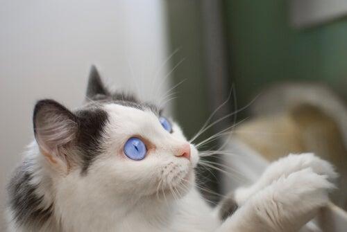 un chat blanc aux yeux bleus