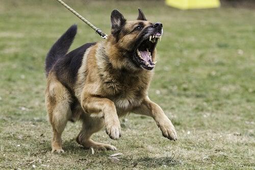 un berger allemand agressif