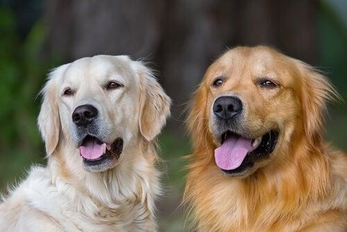 Un Golden Retriever et un croisé Labrador