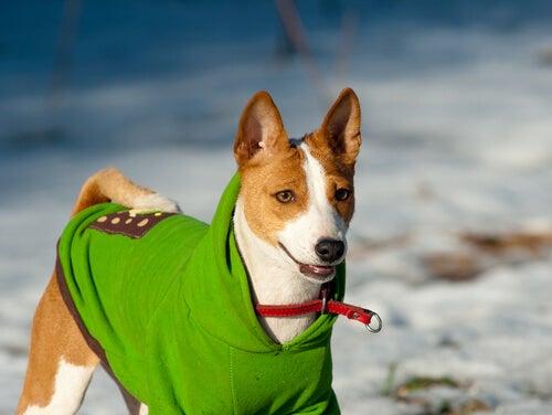 un chien avec un manteau dans la neige