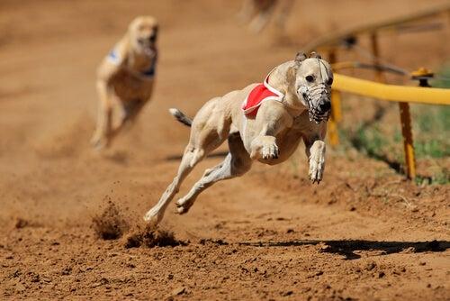 Les courses de chiens sont interdites en Argentine