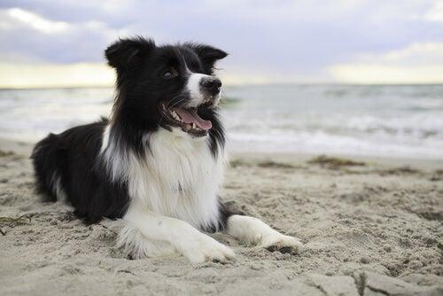 Un collie sur une plage, il semble non-voyant