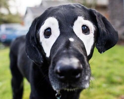 Rowdy un chien atteint de vitiligo
