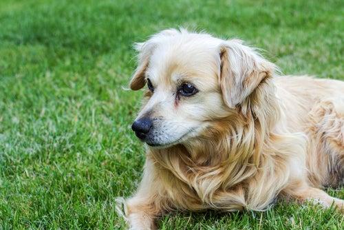 Un vieux chien allongé dans l'herbe