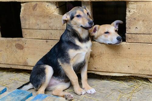 Deux chiots côte à côte, dont l'un dans une niche ou abris en bois