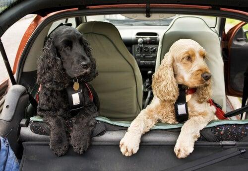 Se déplacer avec une ceinture de sécurité à harnais pour chiens