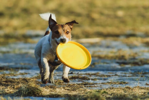 un chien avec un frisbee dans la gueule