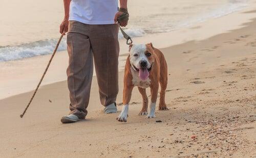 un chien est promené sur la plage, en laisse