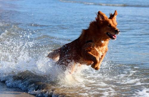 Un chien saute dans la mer