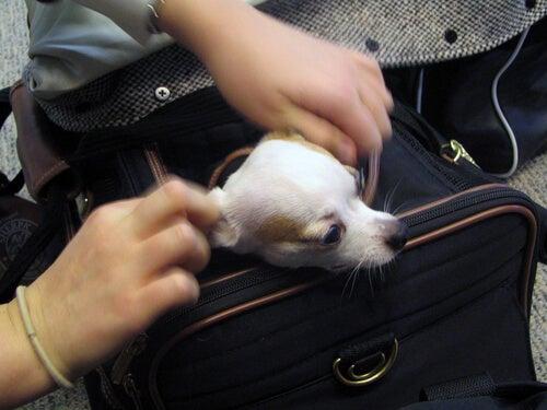 Un chihuahua sort se tête du sac