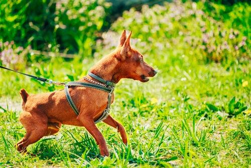 un petit chien tire sur sa laisse