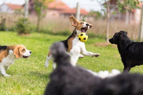 un groupes de chiens qui jouent avec un ballon