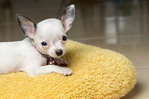 un bébé chihuahua sur un coussin