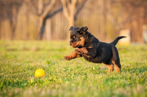 un chiot rottweiler joue avec une balle dans un jardin