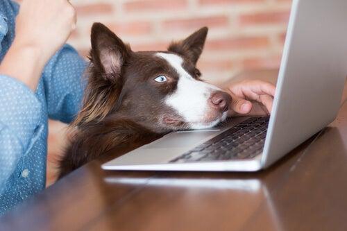 Border collie marron qui a sa tête posée sur le clavier de l'ordinateur portable de son maître et qui regarde vers l'écran.