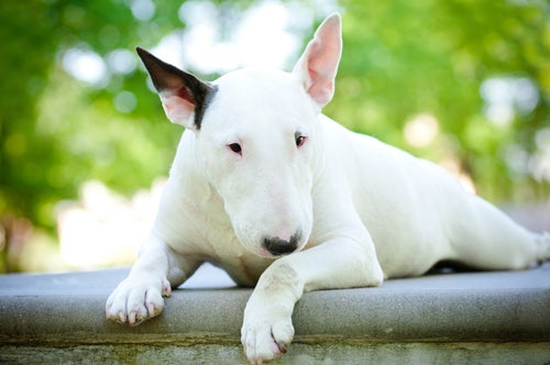un pitbull blanc avec une oreille noire